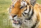 Le tigri e i sondaggi bulgari