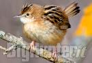 Uccelli inanellati