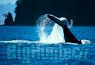 Il Cile vieta la caccia alle balene