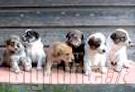 In Danimarca proposta sopressione cani meticci