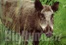 sentenza Tar per regolamento caccia al cinghiale