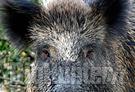 Viterbo: nuovo regolamento caccia al cinghiale