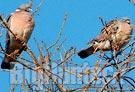 Il ministero legittima la caccia al colombaccio con richiami vivi