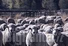 Pecore assalite da lupi