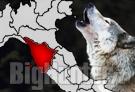 Lupi attaccano greggi in Toscana