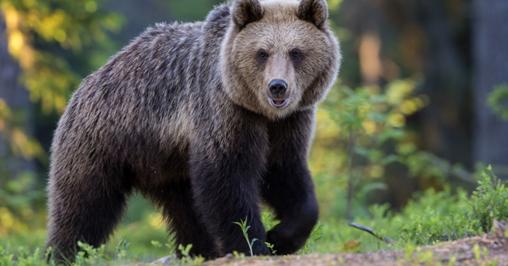 Calendario Rumeno.Troppi Orsi In Romania Bighunter
