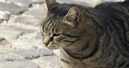 In Australia Si Abbattono 2 Milioni Di Gatti Bighunter