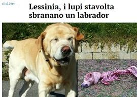 Labrador Sbranato Proprietaria Lancia Allarme Sui Lupi Della
