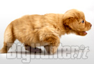cucciolo