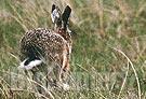 Vietata la caccia alla lepre