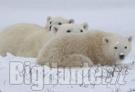 Orso polare in estinzione