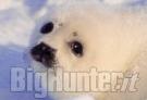Tensione Canada Europa per caccia alle foche