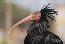 Rischio estinzione ibis eremita